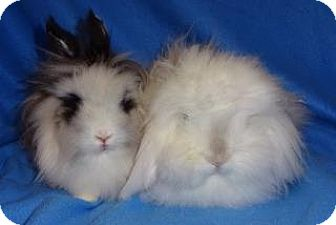 American Fuzzy Lop Mix for adoption in Woburn, Massachusetts - Tenley