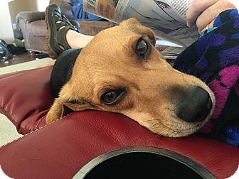 Beagle Mix Dog for adoption in Glastonbury, Connecticut - Winnie