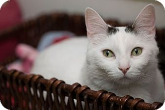 Domestic Shorthair Cat for adoption in Lombard, Illinois - Gisele Bündchen