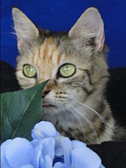 Domestic Mediumhair Cat for adoption in Carneys Point, New Jersey - Penelope