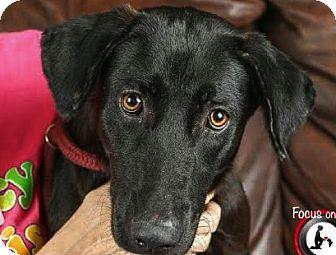 Labrador Retriever Mix Dog for adoption in Saddle Brook, New Jersey - Nox