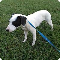 Adopt A Pet :: Jimmy Choo - Russellville, KY