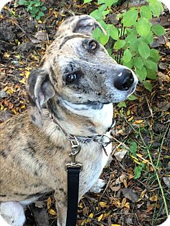 Catahoula Leopard Dog Mix Dog for adoption in Warren, Maine - Cricket - WI