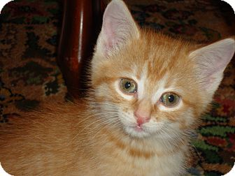 Domestic Shorthair Kitten for adoption in Fort Atkinson, Wisconsin - Darby
