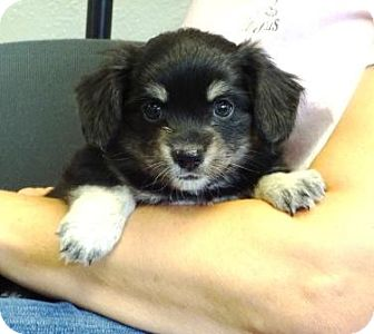 Spaniel (Unknown Type) Mix Puppy for adoption in Lathrop, California - Rollo