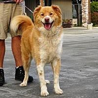 Australian Shepherd/Golden Retriever Mix Dog for adoption in Lathrop, California - Max