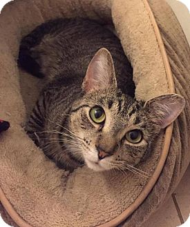 Domestic Shorthair Cat for adoption in Chicago, Illinois - nikki