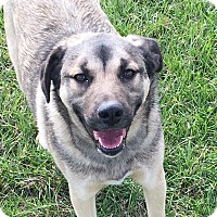 Adopt A Pet :: Amos - Russellville, KY