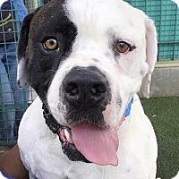 Adopt A Pet :: Bubba - Van Nuys, CA