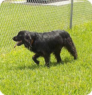Cocker Spaniel/Springer Spaniel Mix Dog for adoption in Santa Fe, Texas - Marley- Fun Water boy- S.VIDEO