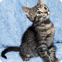 Adopt A Pet :: Jupiter - Mt. Prospect, IL