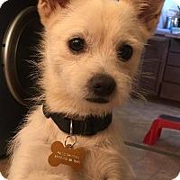 Adopt A Pet :: Thelma A Pomeranian mix - Arlington, WA