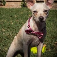 Fox Terrier (Smooth) Mix Dog for adoption in justin, Texas - Dolly