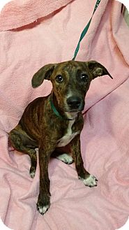 Catahoula Leopard Dog Mix Puppy for adoption in East Hartford, Connecticut - Cupcake in CT