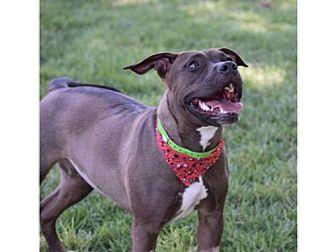 Pit Bull Terrier Dog for adoption in Henderson, Nevada - SOFIE