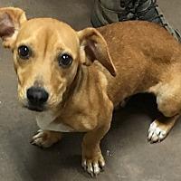 Adopt A Pet :: Juliet - Wilmington, OH