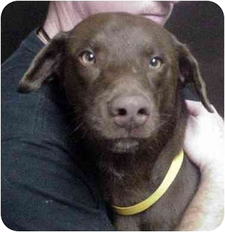 Labrador Retriever Mix Dog for adoption in Manassas, Virginia - Mojo