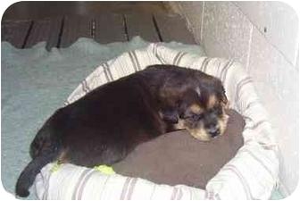 Husky Mix Puppy for adoption in Osceola, Arkansas - Little man