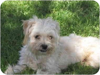 Maltese/Poodle (Toy or Tea Cup) Mix Puppy for adoption in Whittier, California - Nemo