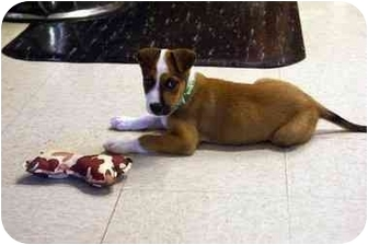 Boxer/Jack Russell Terrier Mix Puppy for adoption in Washington, North Carolina - Merlin