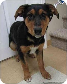 Shepherd (Unknown Type) Mix Puppy for adoption in Morden, Manitoba - Mintie