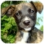 Photo 1 - Labrador Retriever/Whippet Mix Puppy for adoption in Pawling, New York - ANGEL