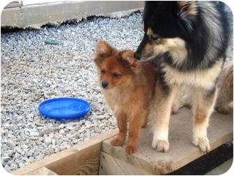 Pomeranian Puppy for adoption in Irvington, Kentucky - Little Man