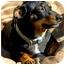 Photo 1 - Dachshund/Chihuahua Mix Dog for adoption in Spokane, Washington - Pud AKA Spud