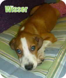 Retriever (Unknown Type)/Hound (Unknown Type) Mix Puppy for adoption in Georgetown, South Carolina - Wisser