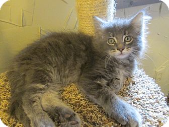 Domestic Longhair Kitten for adoption in Richland, Michigan - Charlie Brown