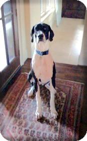Great Dane Dog for adoption in Austin, Texas - Ladybird