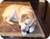 Labrador Retriever Mix Dog for adoption in Lewisville, Indiana - Duke