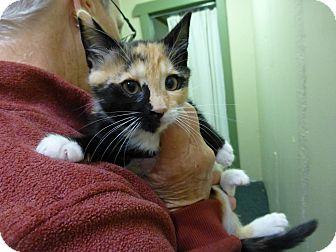 Siamese Kitten for adoption in Quincy, California - Gypsy