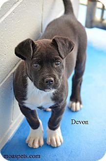 Labrador Retriever Mix Puppy for adoption in Danielsville, Georgia - Devon