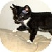 Adopt A Pet :: Cleo - Vancouver, BC