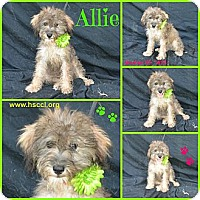 Adopt A Pet :: Allie - Plano, TX
