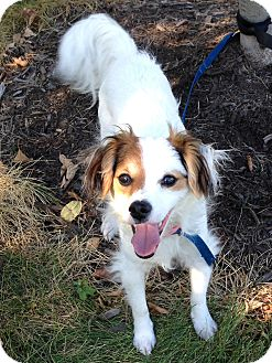 Chihuahua/Jack Russell Terrier Mix Puppy for adoption in Washington, Pennsylvania - Patches