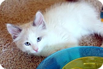 Snowshoe Kitten for adoption in HILLSBORO, Oregon - Diana