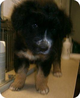 Bernese Mountain Dog Mix Puppy for adoption in Milton, New York - Smokey