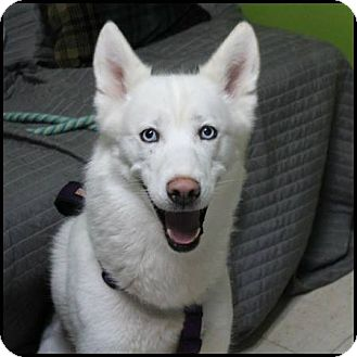 Siberian Husky Dog for adoption in Lasalle, Illinois - Kinslee