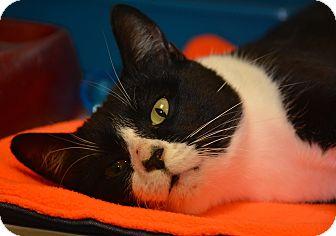 Domestic Shorthair Cat for adoption in Jacksonville, Arkansas - Albert