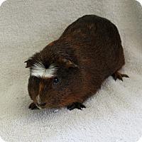 Guinea Pig for adoption in Imperial Beach, California - Nachman