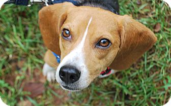 Beagle Mix Dog for adoption in Richmond, Virginia - Petunia