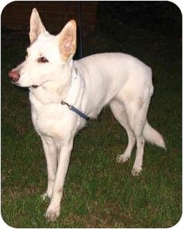 German Shepherd Dog Dog for adoption in Nesbit, Mississippi - Crystal