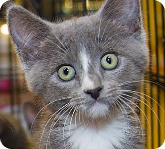 Domestic Shorthair Kitten for adoption in Irvine, California - Suzanne