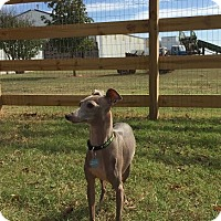 Adopt A Pet :: Spec in Oklahoma area - Argyle, TX
