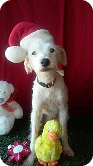 Terrier (Unknown Type, Small) Mix Dog for adoption in Santa Monica, California - LULU