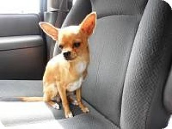 Chihuahua Mix Puppy for adoption in Shawnee Mission, Kansas - Stanley