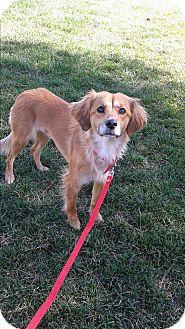 Golden Retriever/Cocker Spaniel Mix Dog for adoption in Las Vegas, Nevada - Dixie