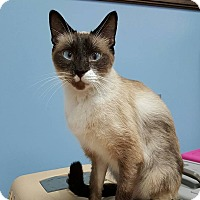 Siamese Cat for adoption in Albemarle, North Carolina - Andrew Johnson
